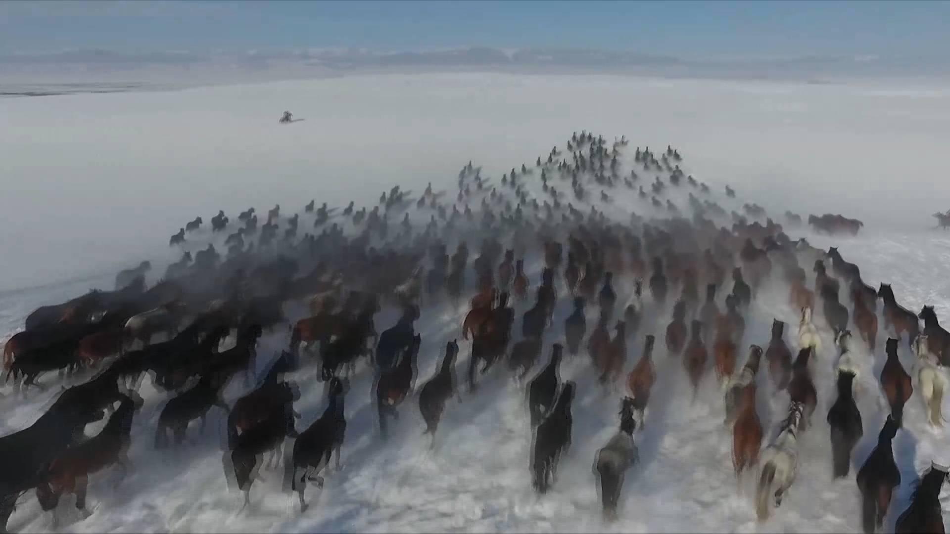 63秒丨馬蹄卷起飛揚雪 新疆昭蘇萬馬奔騰踏雪而來