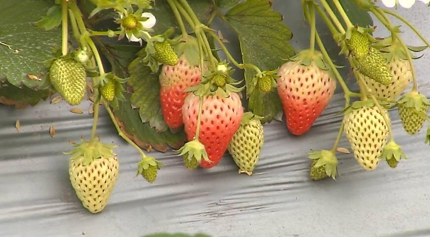 49秒丨元旦假期去哪玩?金乡草莓采摘游成市民首选