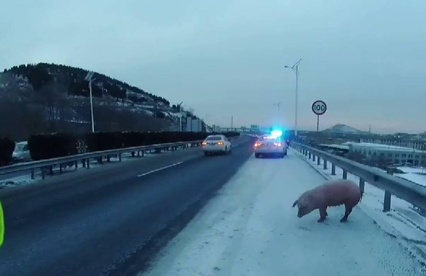 """66秒丨猪""""越狱""""在高速上""""溜达"""" 交警快速捉拿确保车辆安全通行"""