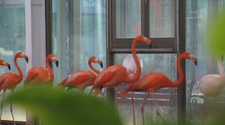 49秒|玻璃温室加挂空调 一起看看诸城市动物园火烈鸟的御寒之路