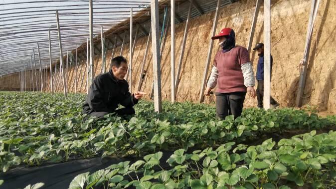 52秒|寒潮来袭气温骤降 潍坊大棚种植户应谨防绵疫病等作物病害
