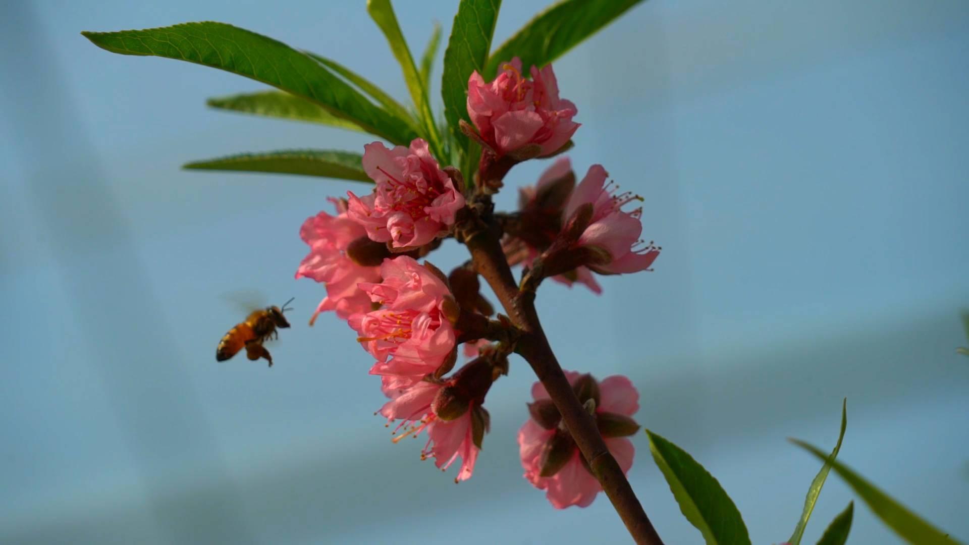 60秒|隆冬时节桃花朵朵开 临沂沂南700亩大棚已是花香四溢