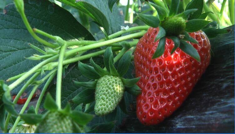 49秒丨边逛边吃!潍坊安丘草莓采摘园等你来打卡