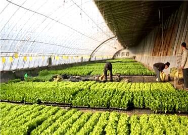 27秒|寿光穴盘蔬菜成新宠  一个大棚可栽培7000多盘