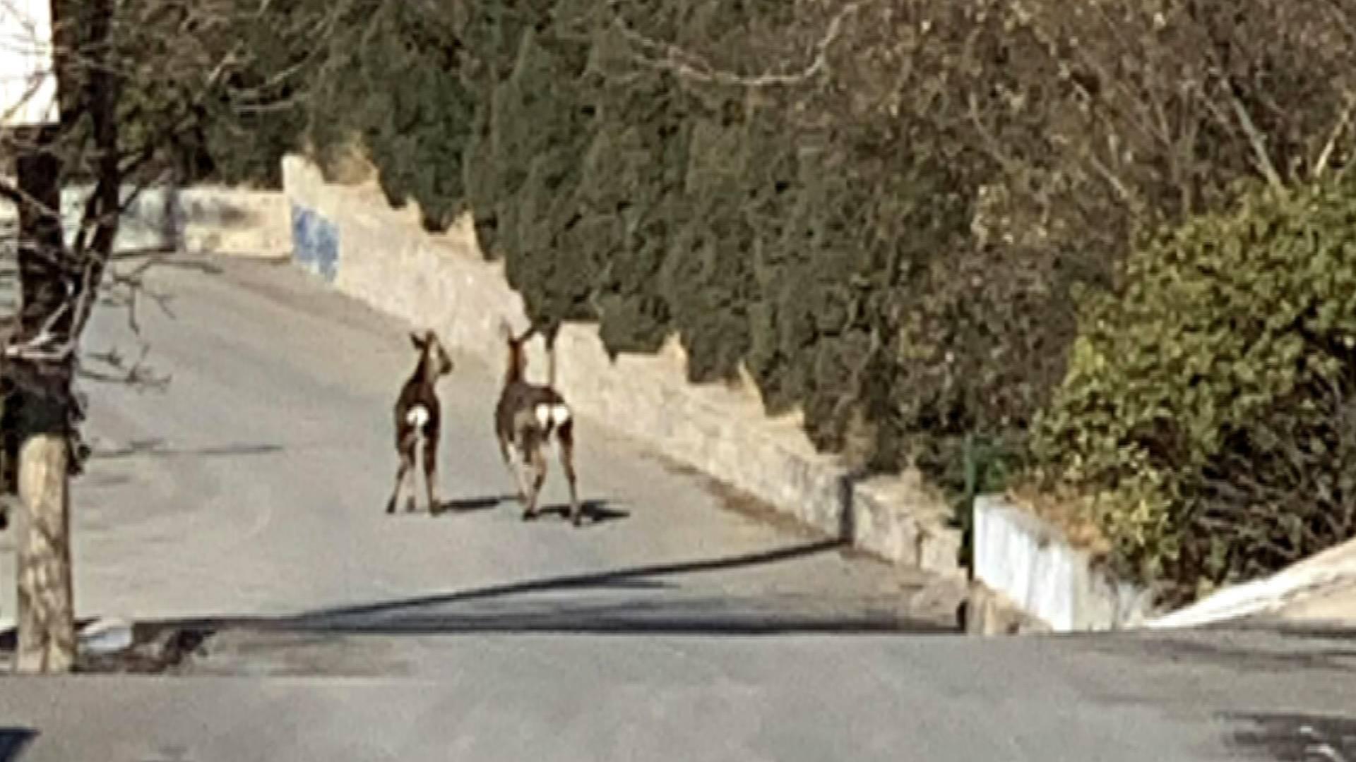 """45秒丨有监控 两只野生鹿""""闯""""进烟台龙口古村落觅食"""