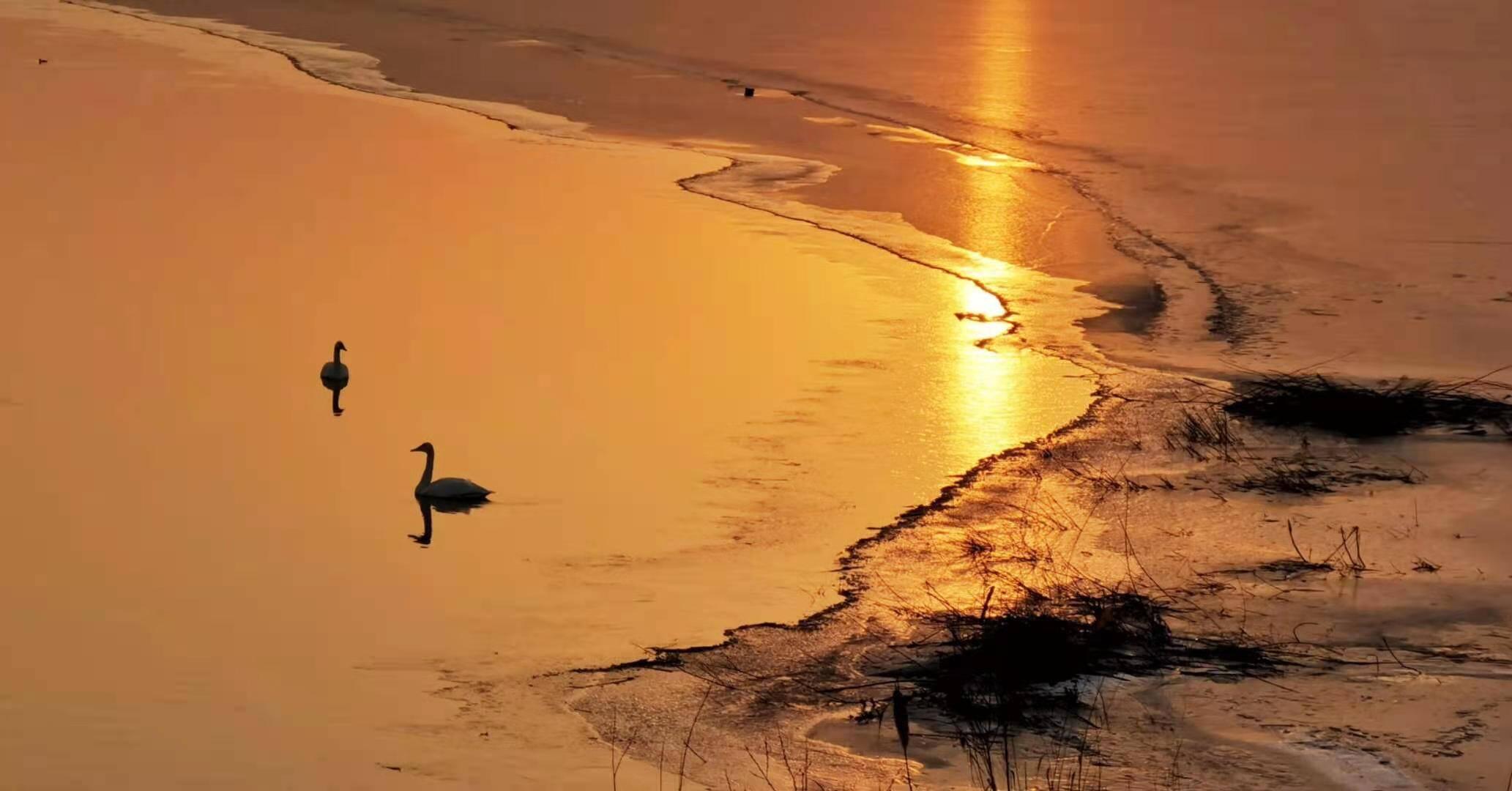 济南黄河沉沙池结冰 大天鹅们再寻乐园