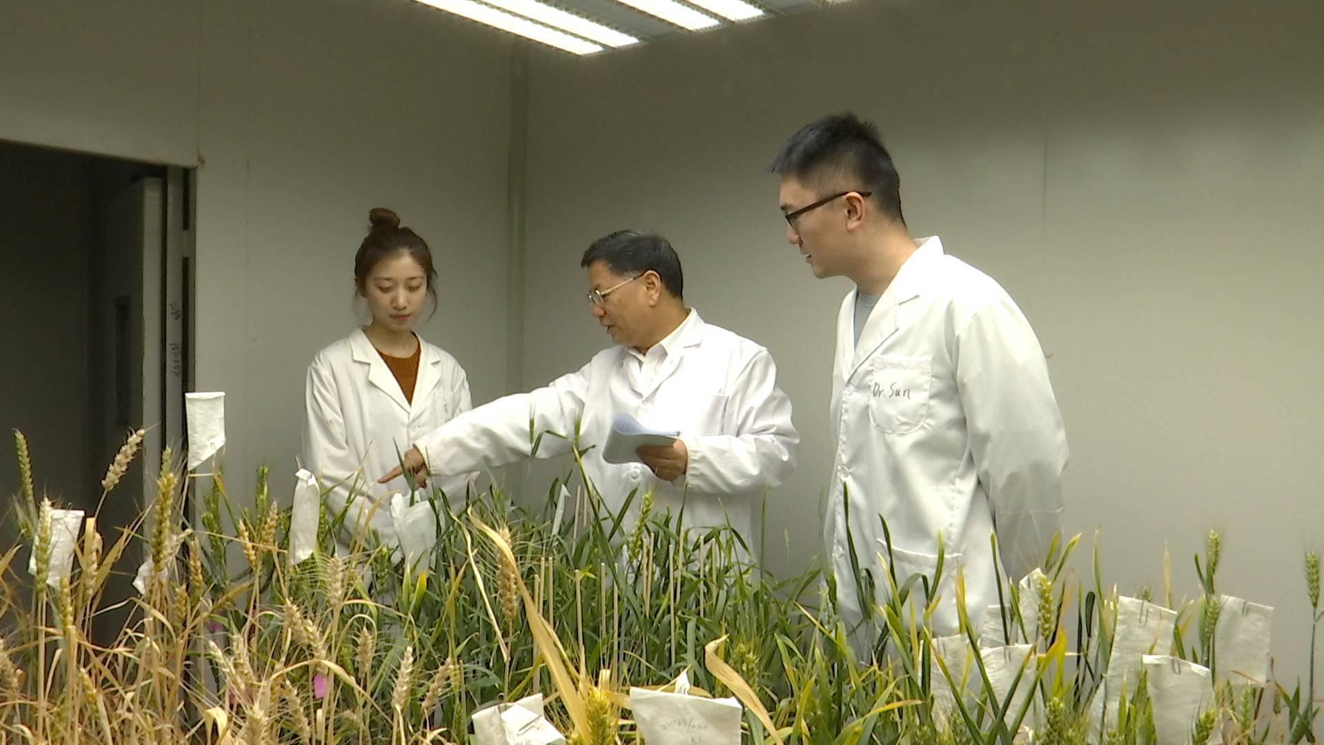 """二十年磨一剑!山东农业大学孔令让团队:找到小麦""""癌症""""克星,攻克世界性难题"""