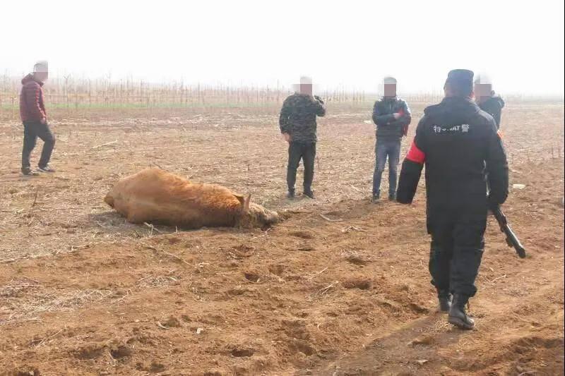 25秒 疯牛发狂伤人 民警找来红布吸引开枪将它击毙