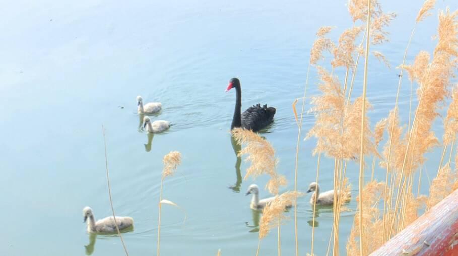 47秒|21只黑天鹅宝宝陆续降生!滕州微山湖红荷湿地黑天鹅喜添新丁