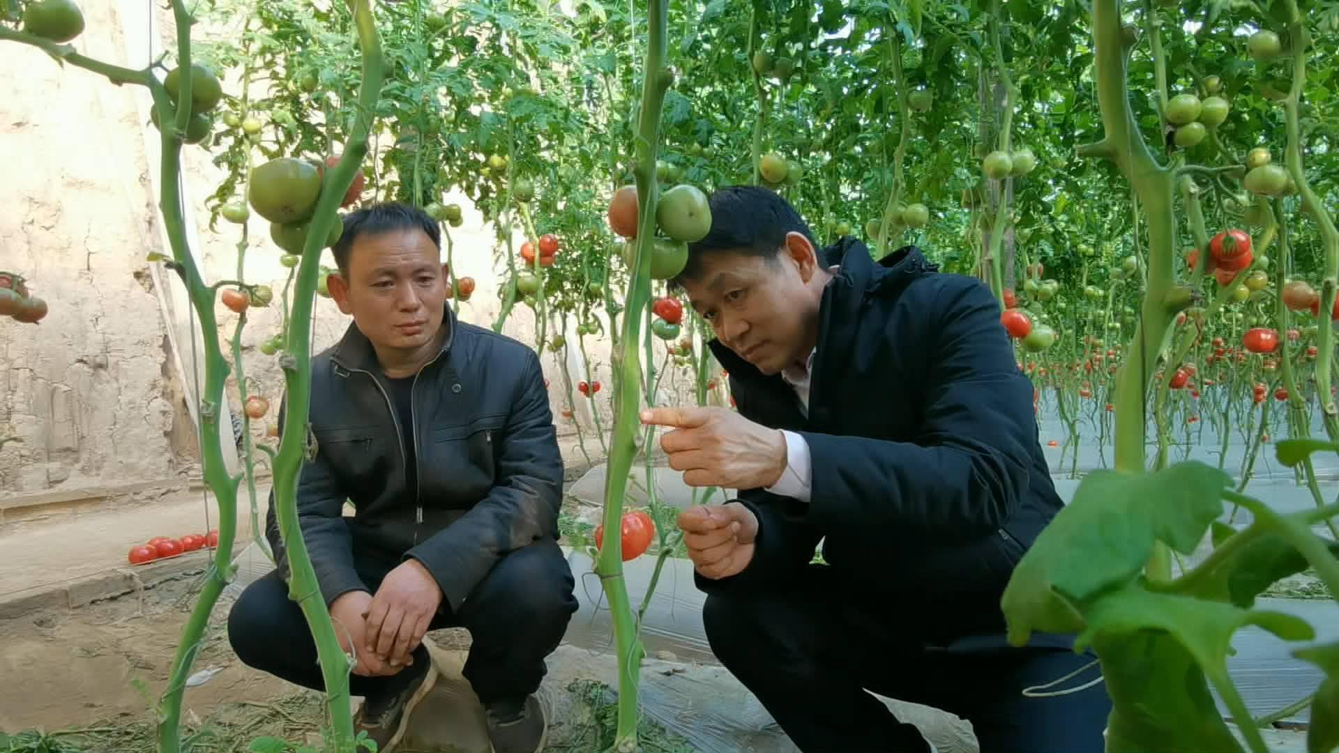当水果吃的西红柿 何以成了村民致富果?