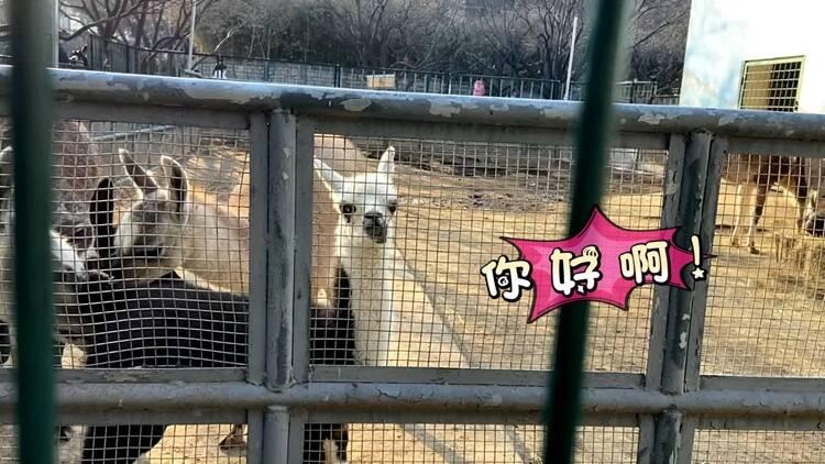 """又添新""""朋友""""!济南动物园新添驼羊宝宝正式""""出道"""",竟然更受同类喜欢?"""