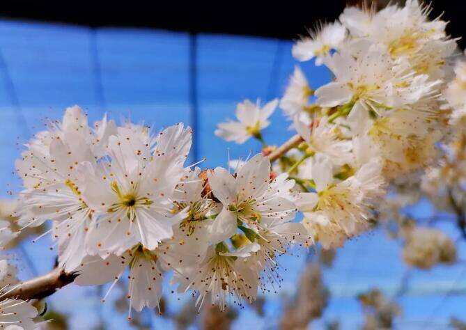 29秒丨开启赏花模式 日照五莲松柏大棚樱桃花绽放