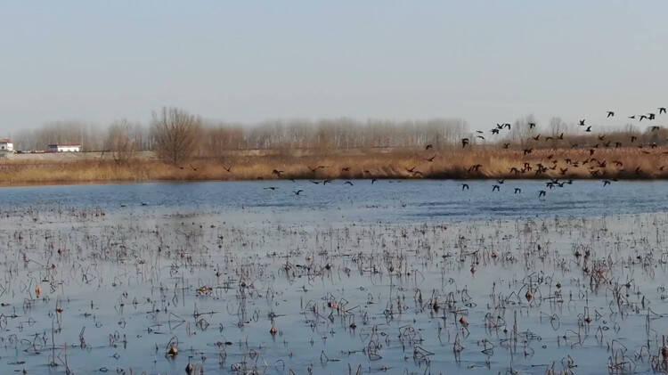 40秒 30多种珍稀飞鸟齐聚菏泽浮龙湖  千姿百态蔚为壮观