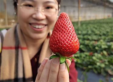 49秒|德州齐河:人勤春来早 草莓采摘忙 春日里洋溢着丰收喜悦