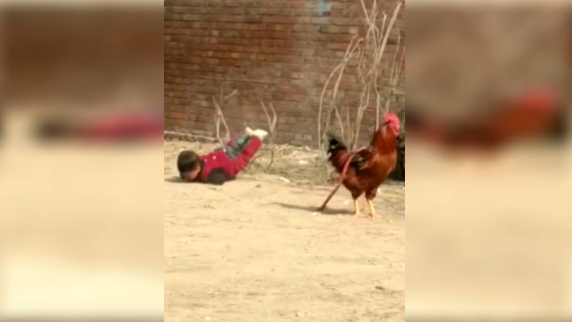 32秒|帅不过一秒!菏泽2岁萌娃手揣兜追赶大公鸡 不料摔倒啃一嘴泥