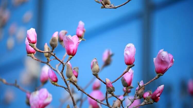 32秒|聊城阳谷:玉兰花开 春意渐浓