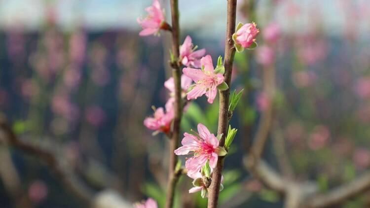视频|人勤春来早!聊城温室大棚油桃花开 映红乡村振兴致富路