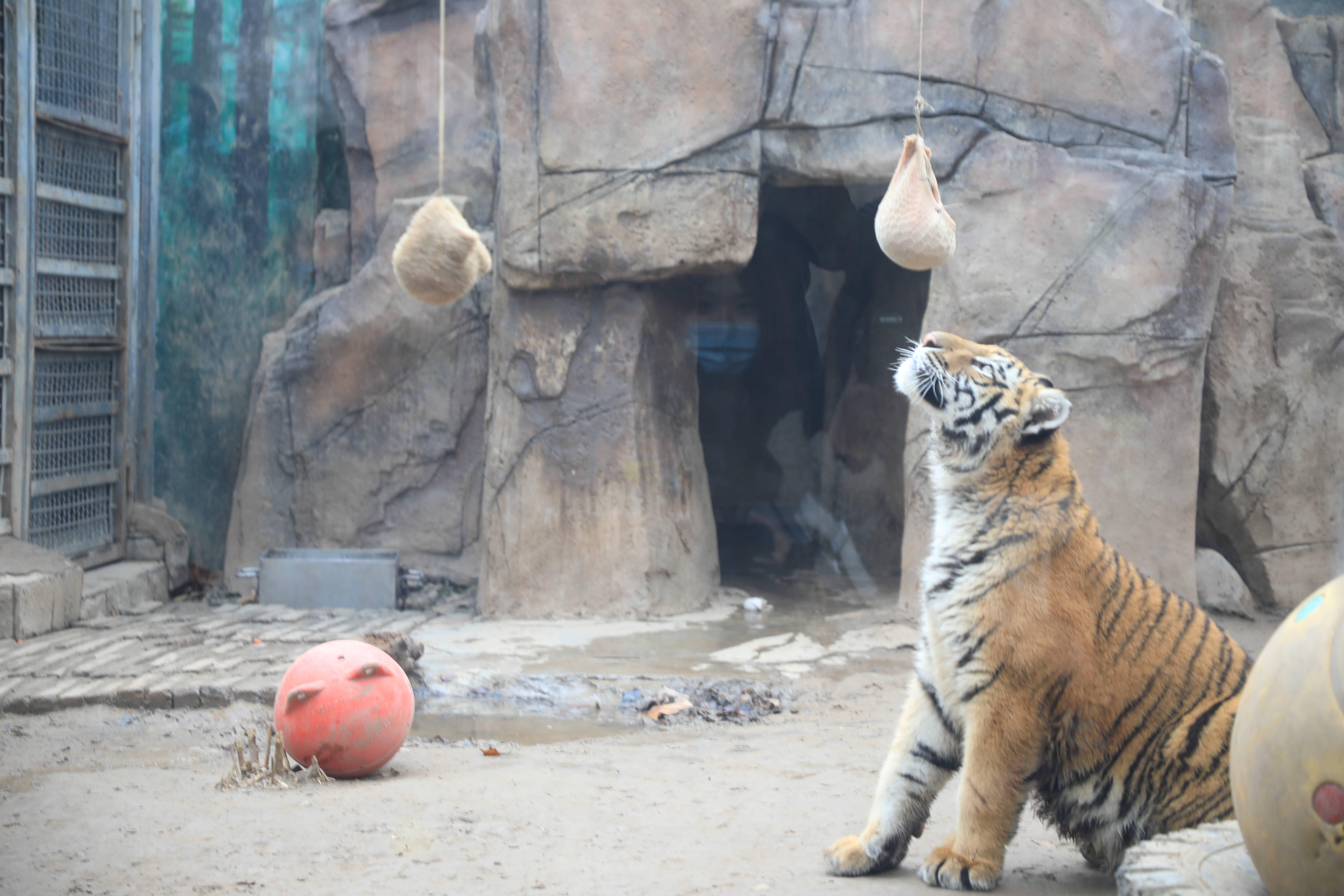 """77秒丨动物也要吃汤圆?济南动物园动物联""""萌""""吃汤圆"""