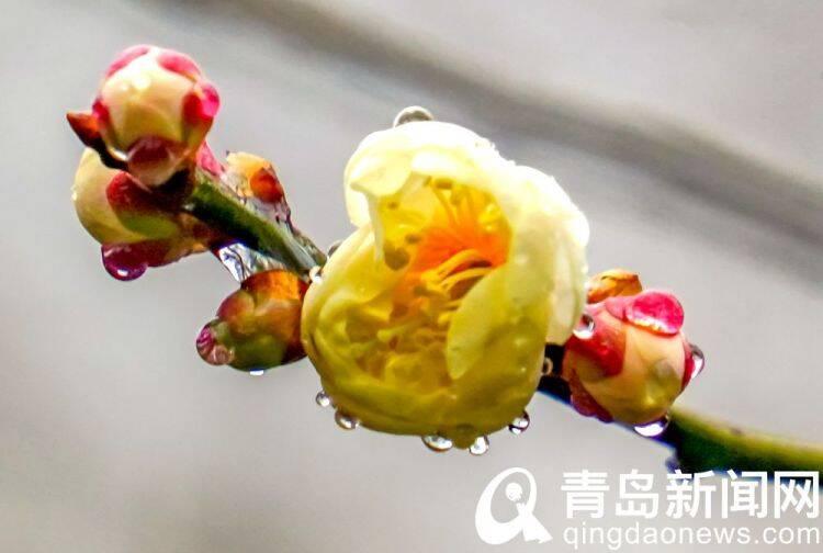 青岛中山公园雨润梅花更娇艳