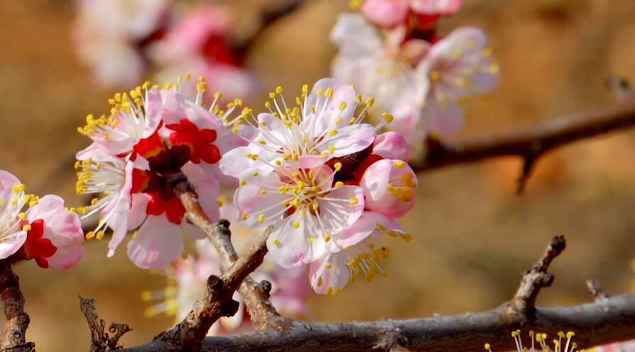 29秒丨邹城大束镇千亩杏花绽放 春景美如画