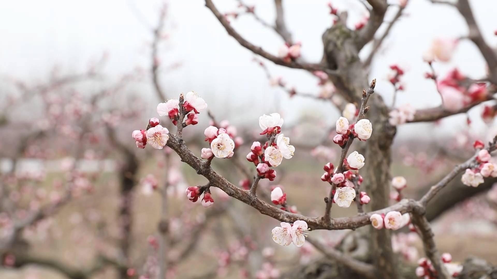 拥抱春天丨花开春意浓  踏春赏花正当时