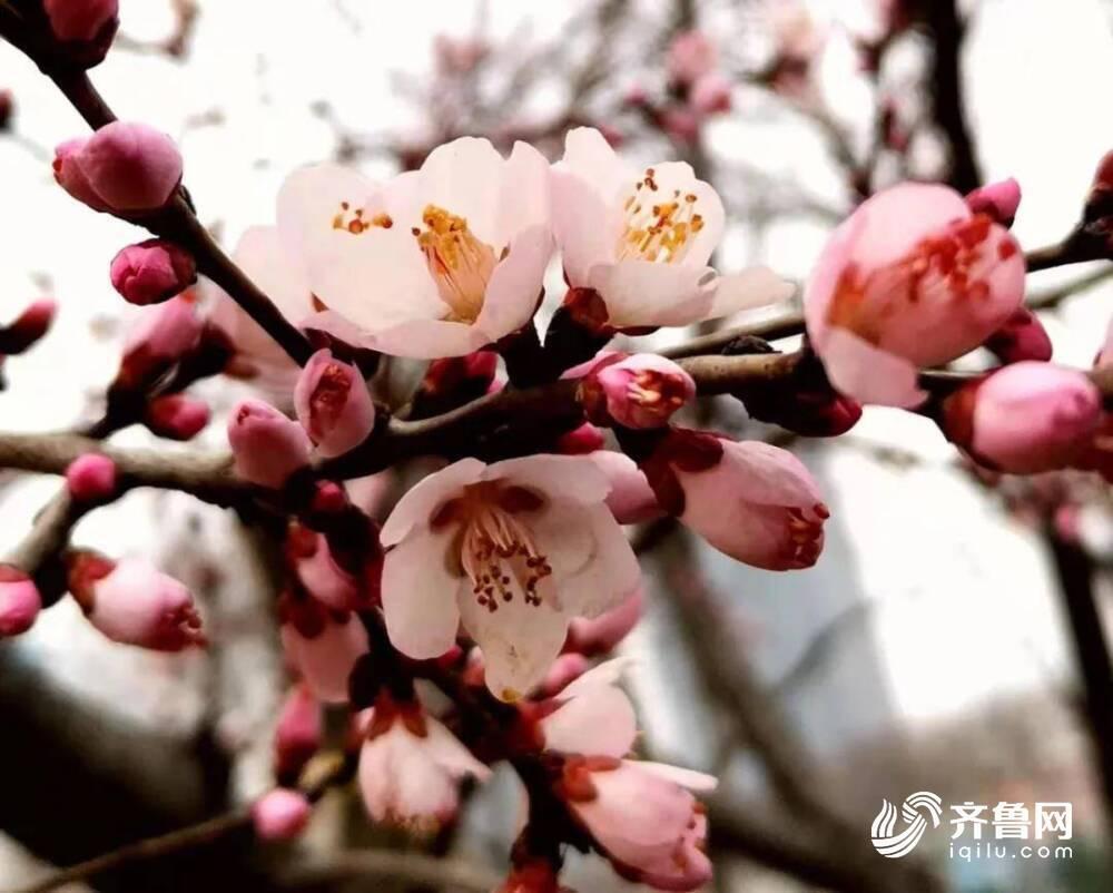 赏春景 来济南章丘区就够了