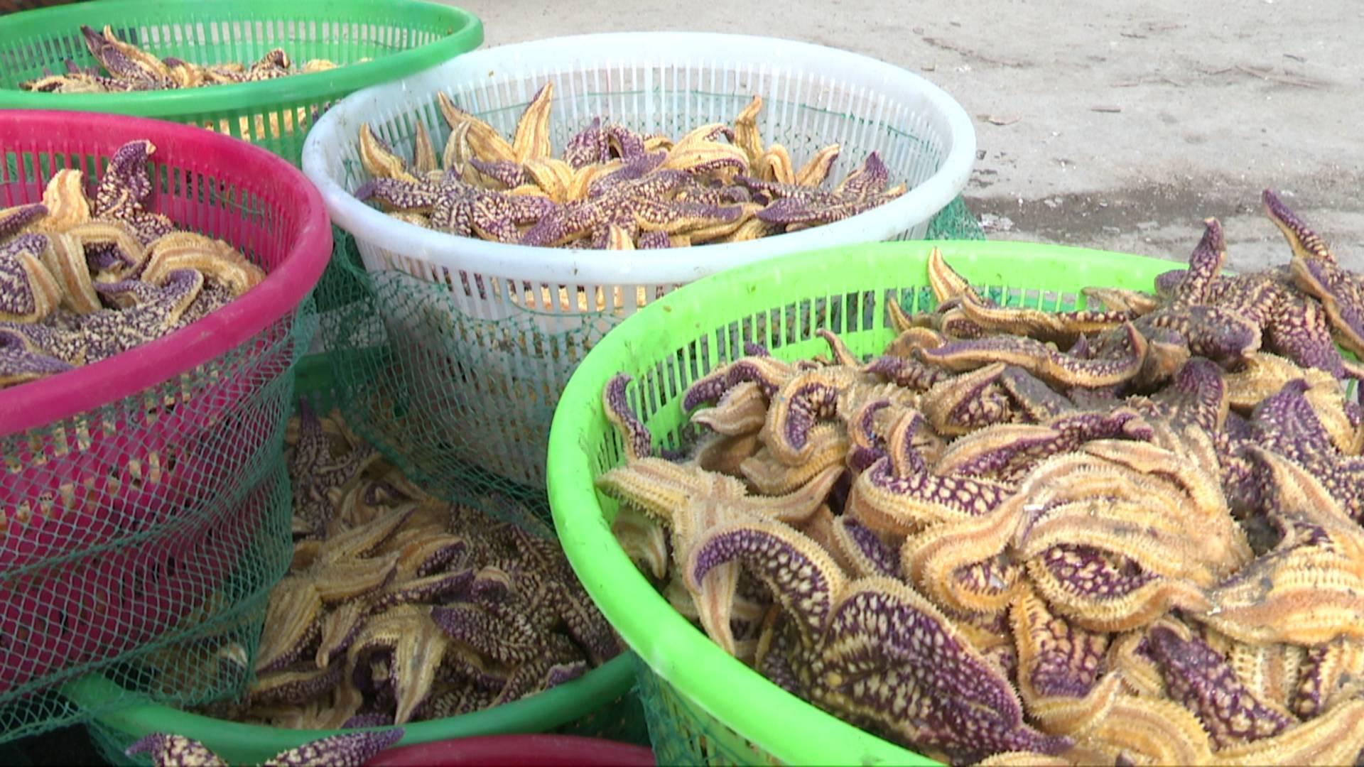青岛胶州湾海星泛滥致渔民损失惨重 专家:比较好的方法是继续打捞