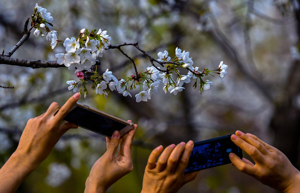 花开齐鲁|花开烂漫正当时!济南五龙潭樱花盛开游人如织