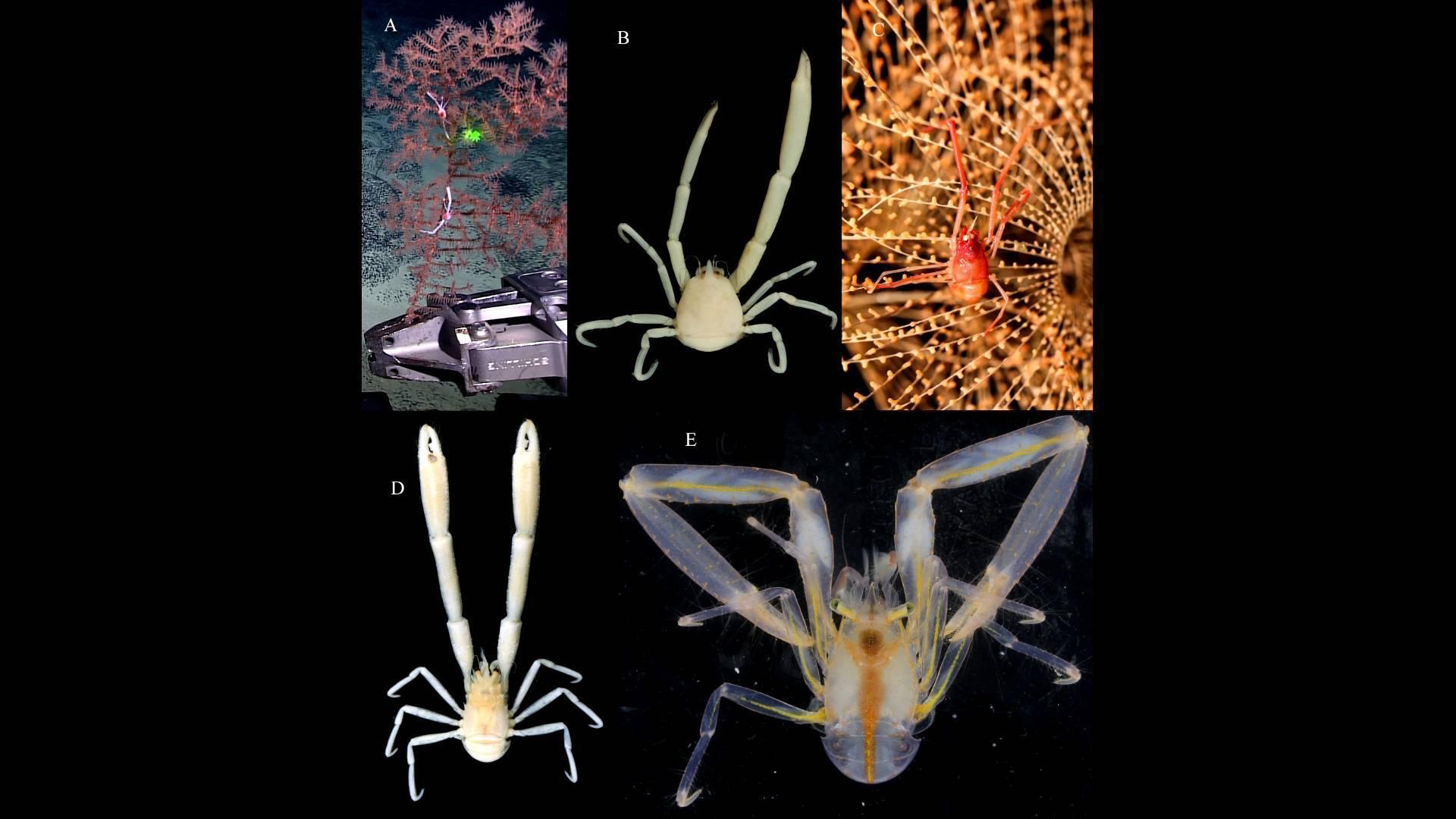 73秒丨中科院发现11个深海铠甲虾新物种 其中一个以航海家郭川命名