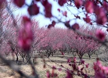 44秒 滿園春色關不住 來威海環翠邂逅春日里的賞梅之約