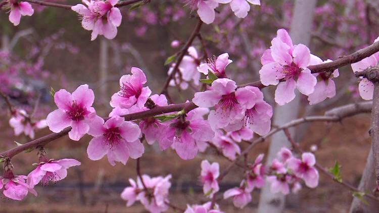 36秒|桃花朵朵开 潍坊临朐这里美景惹人醉