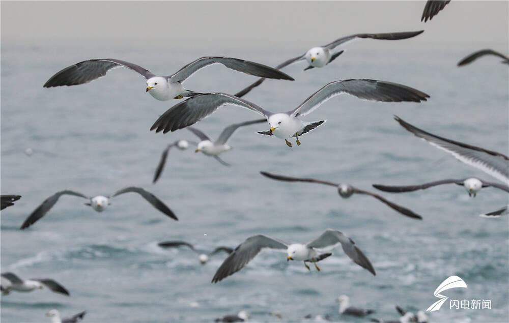 来威海荣成 和黑尾鸥一起拥抱这个春天