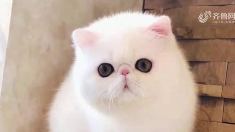 青岛老两口花万元购买的加菲猫 在爱诺宠物医院意外死亡