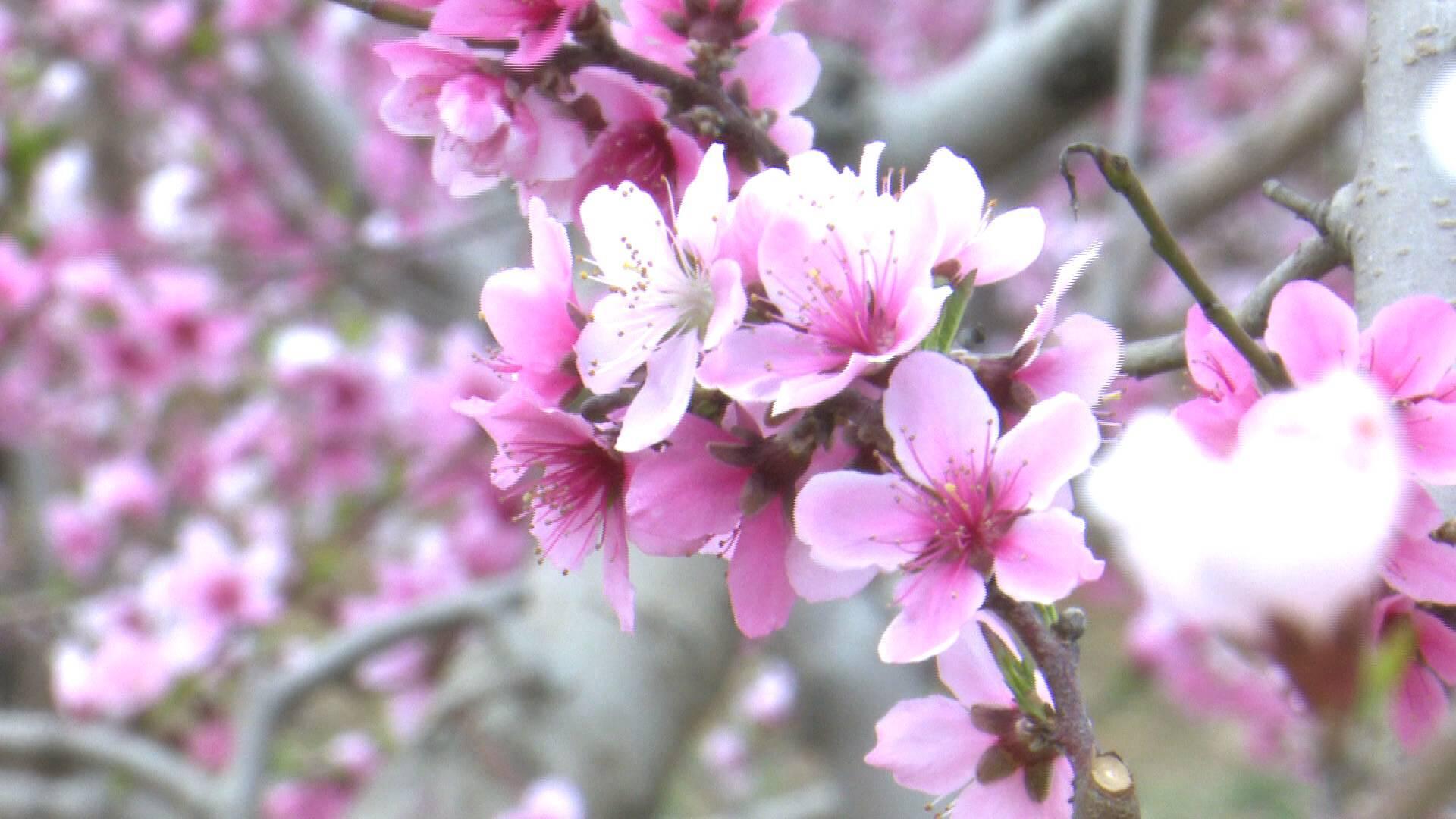 82秒|青州云门山下万亩桃园花开 绘出诗意美景