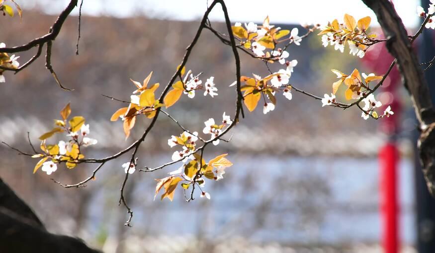 45秒|泉水边、花树下 济南历下区这条路上有一整个春天!