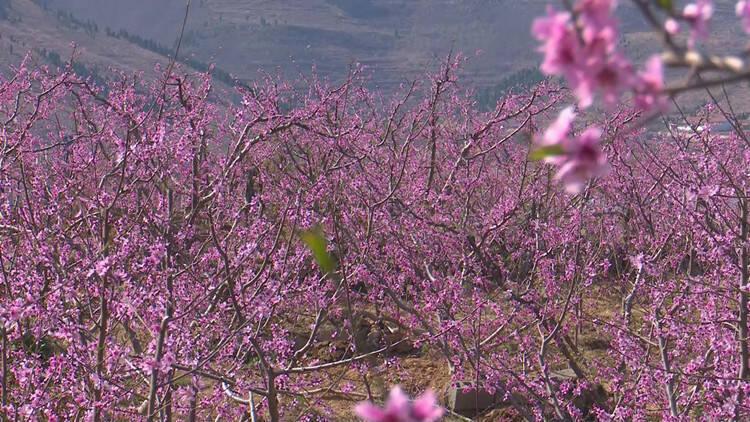 33秒│观赏桃花正当时 潍坊临朐万亩桃花盛开