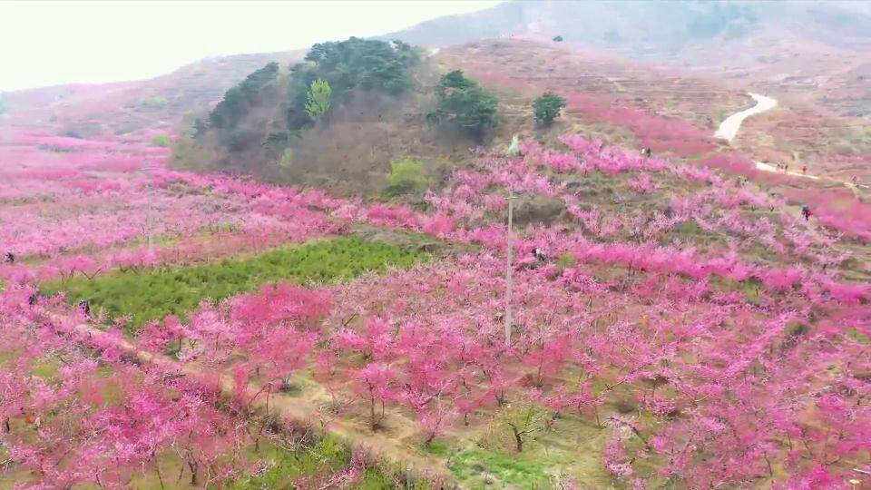 春风送来胭脂粉 淄博博山池上十里桃花开