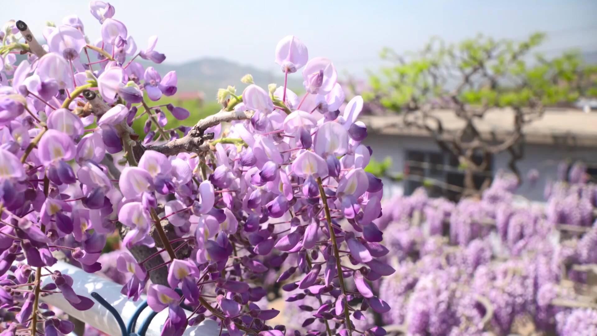 诗画山东|临沂费县:紫藤挂云木,花蔓宜阳春