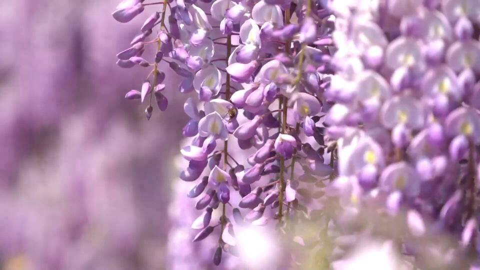 诗画山东|一棵紫藤树美了一个村 临沂费县周家庄村紫藤花开