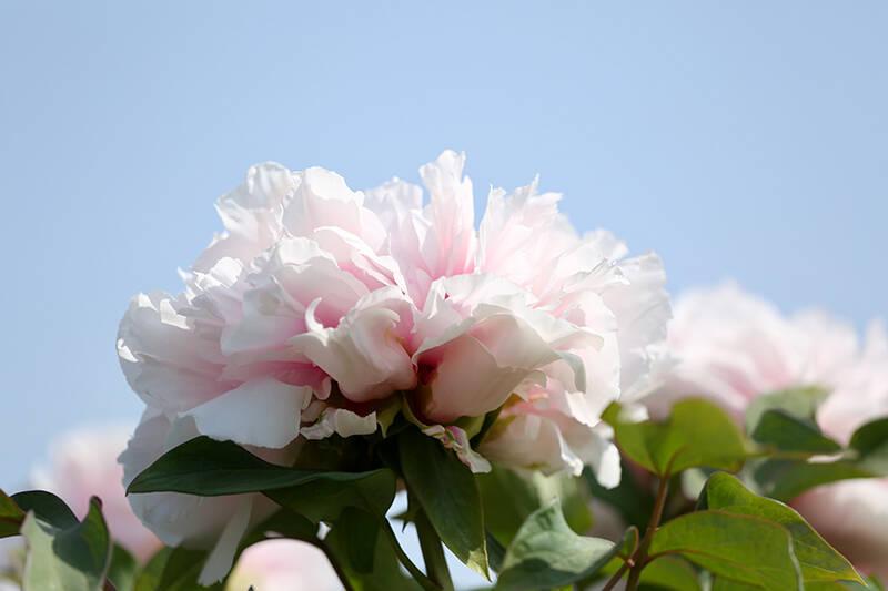 41秒丨9大色系400多个品种!德州减河东畔6万株牡丹花开正艳待君来