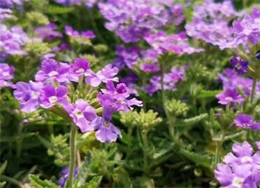 組圖丨花開正璀璨 來威海濱海中路邂逅美妙春光