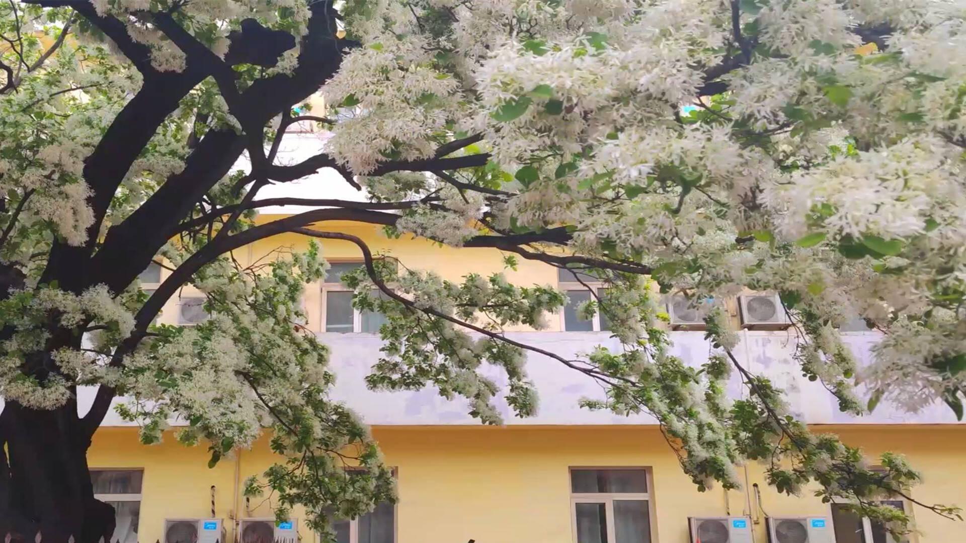 63秒丨满目繁花如云似雪 诸城这棵流苏树美了600年