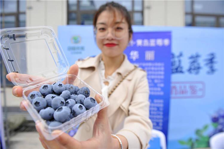 """蓝莓盛会助力乡村振兴 青岛西海岸新区2021""""黄岛蓝莓季""""启动"""