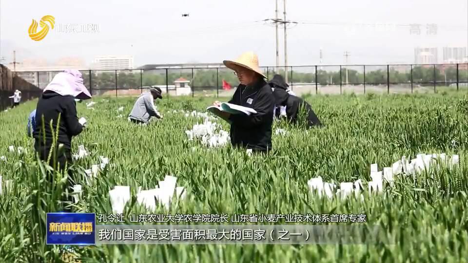 """【了不起的山东】孔令让团队:二十年磨一剑 找到""""小麦癌症""""克星"""