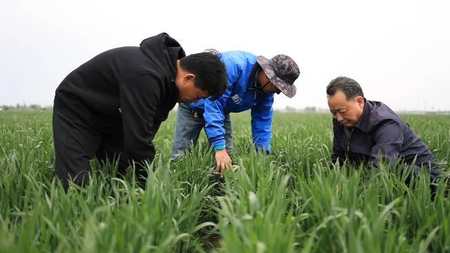 56秒|如何预防春季病虫害和麦田倒伏?潍坊昌乐农技专家现场支招