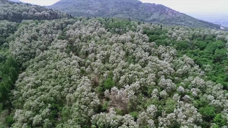 美不胜收!潍坊诸城这里两千多亩槐花竞相绽放