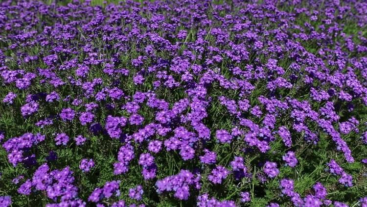 诗画山东| 薰衣草、鼠尾草...聊城竟隐藏着一处紫色花海,美丽又浪漫