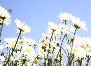 雛菊面朝大海向陽而開 快收下這份威海初夏的小美好