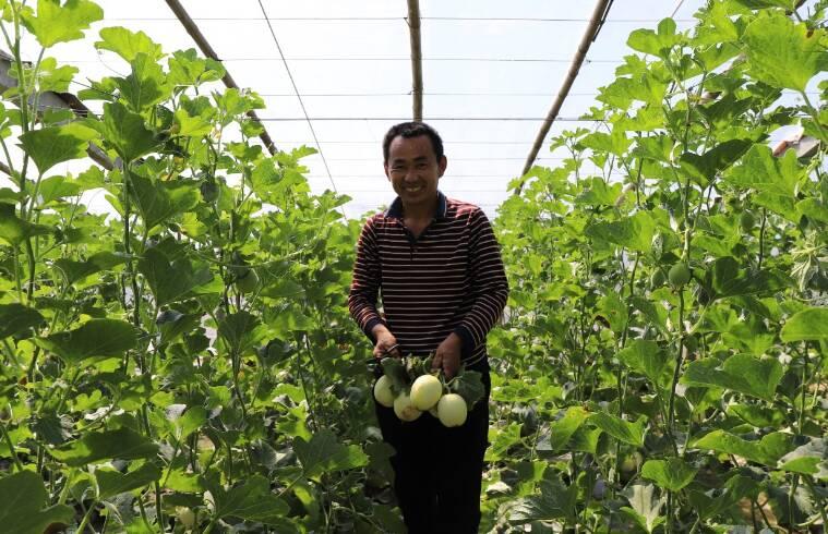 济南章丘:小甜瓜蹚出乡村振兴新路径