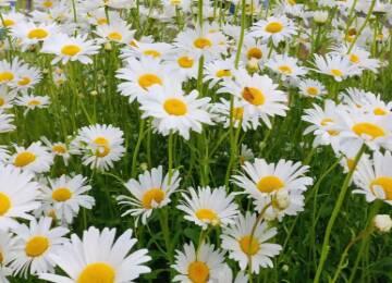 治愈系的夏天,少不了明媚的小雏菊